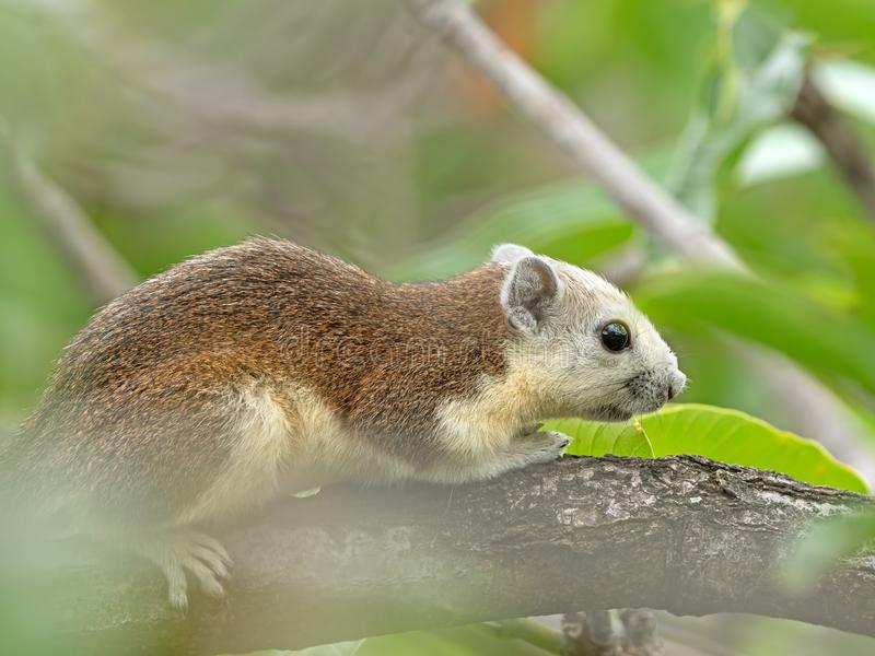 Close up Squirrel on Tree Branch Isolated on Background. Closeup Squirrel on Tree Branch Isolated on Background royalty free stock photos