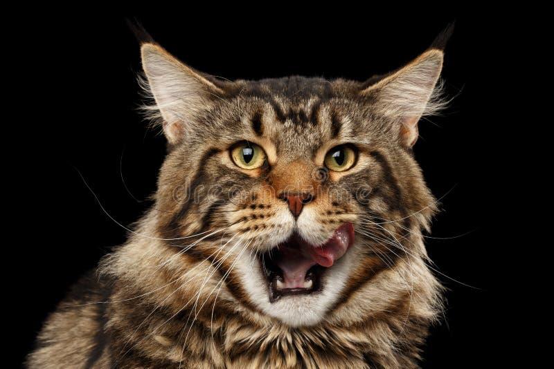 Closeup stående slickade Maine Coon Cat Face, isolerad svart bakgrund royaltyfri bild