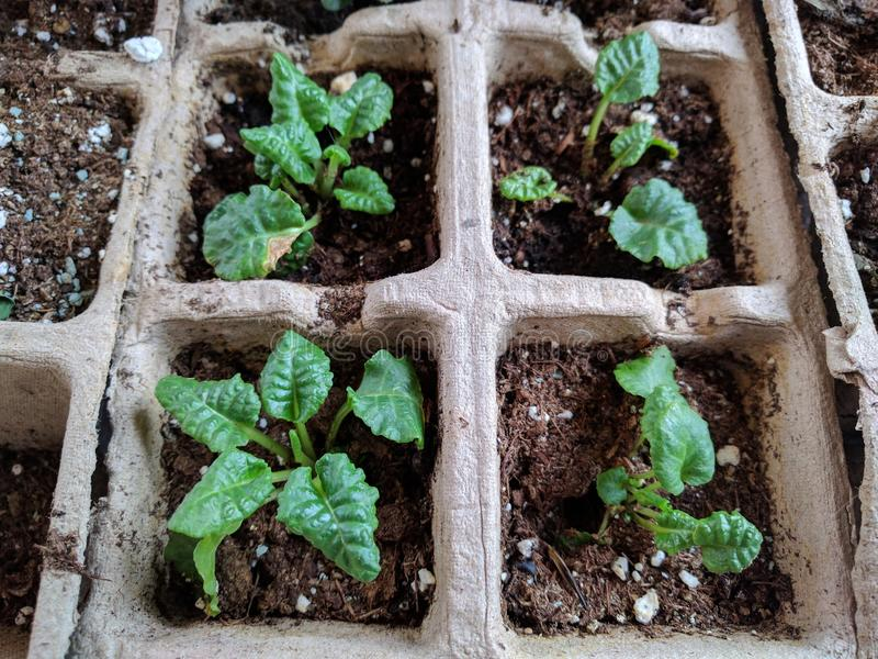 Closeup of starting seedlings indoors royalty free stock photos