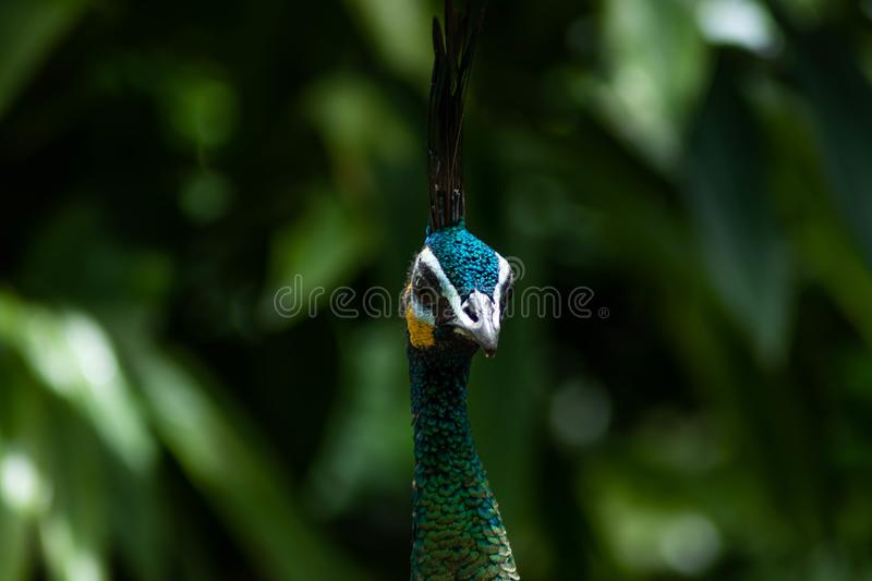 Closeup of a Green Peafowl Looking Off to Side of Camera with Partial Side Profile. A closeup of a stunning green peafowl looking off to the side of the camera royalty free stock image