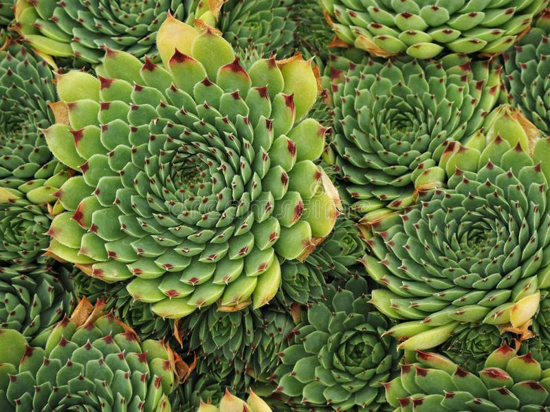 Closeup of succulent plants in a pot royalty free stock photo