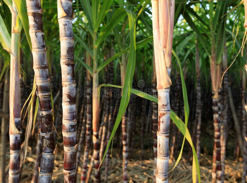 Sugarcane plants at field. Closeup of sugarcane plants in growth at field royalty free stock photography