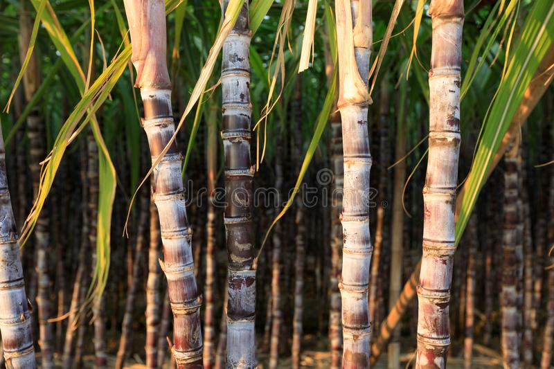 Sugarcane plants at field. Closeup of sugarcane plants in growth at field royalty free stock image
