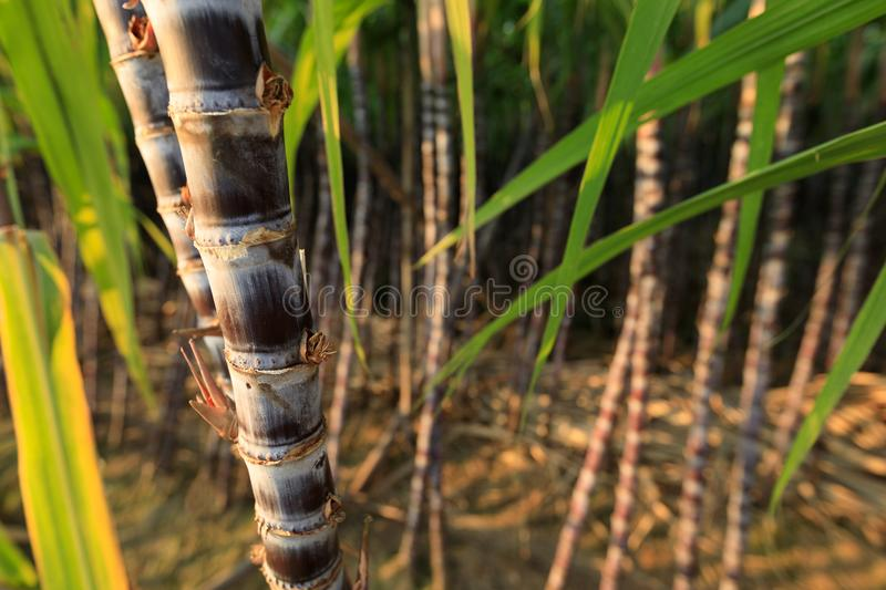 Sugarcane plants at field. Closeup of sugarcane plants in growth at field stock photography