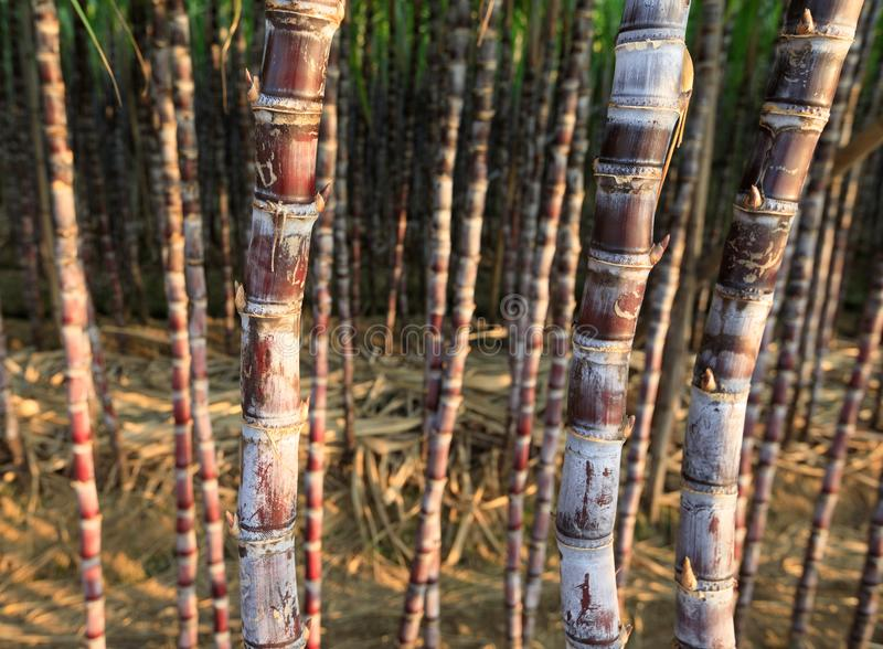 Sugarcane plants at field. Closeup of sugarcane plants in growth at field stock photo