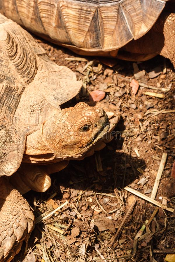 Sulcata tortoise. Closeup of sulcata tortoise royalty free stock photography