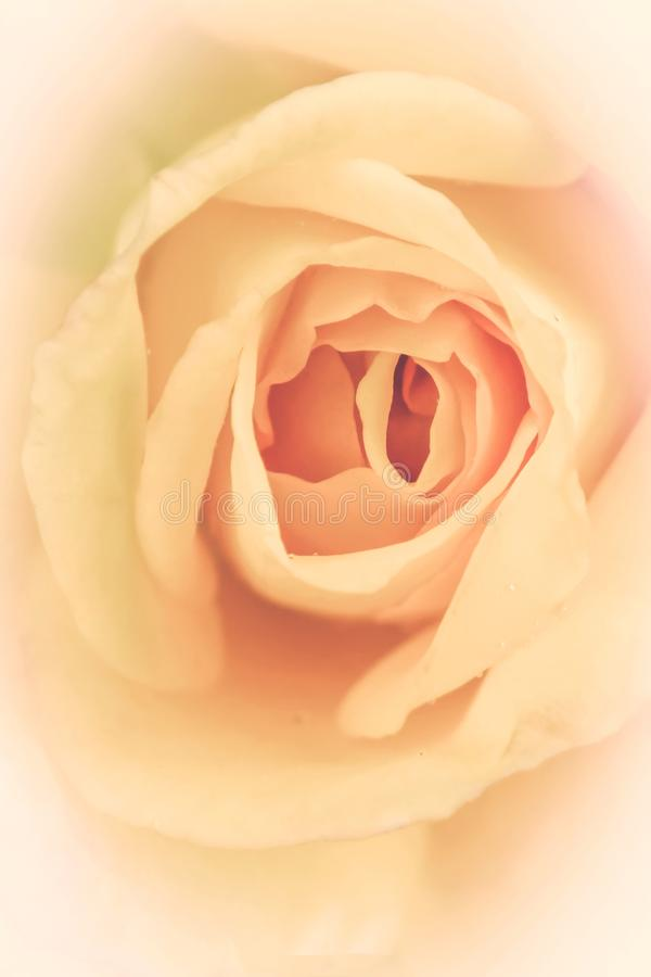 Blooming delicate cream rose. Nature abstract background. royalty free stock photography