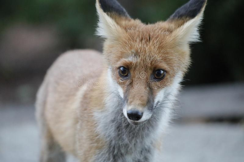 Closeup summer photo of red fox royalty free stock photo