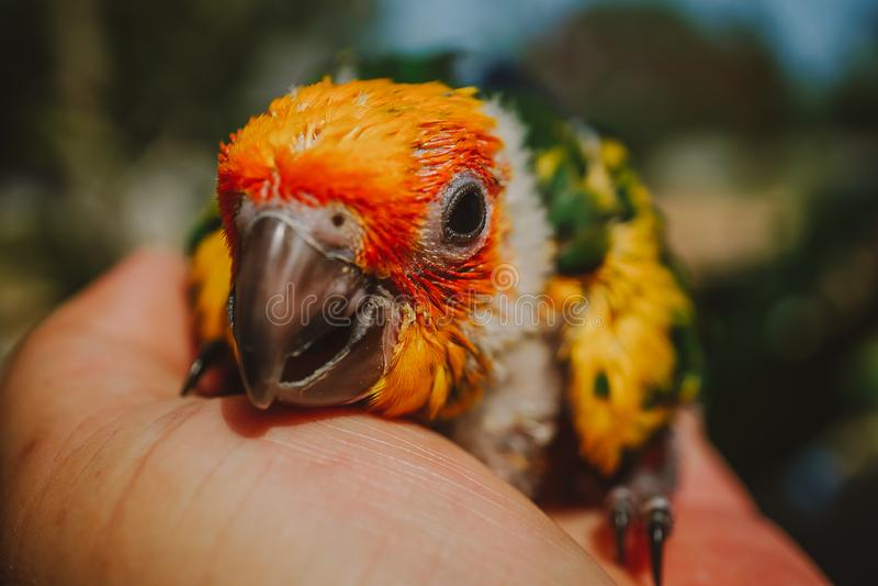Closeup Sun Conure bird royalty free stock photo