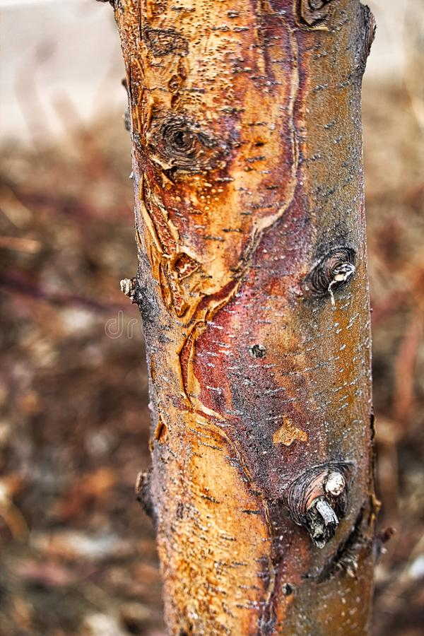 Closeup of a sun scald damage on a tree trunk royalty free stock image