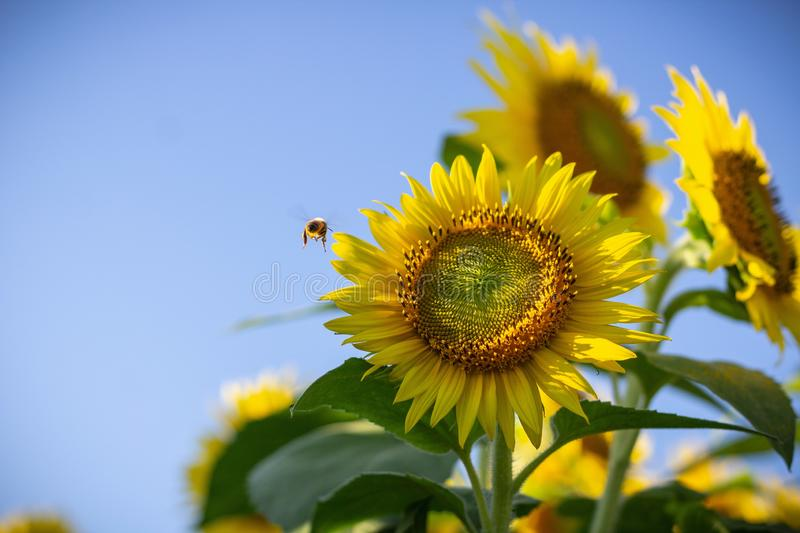Closeup of a sunflower and a bee flying near it on a sunny day stock photography
