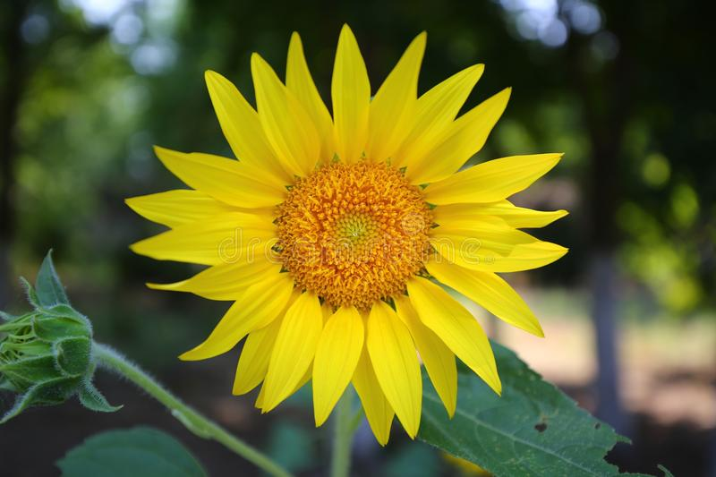 sunflower closeup in summer time stock photo