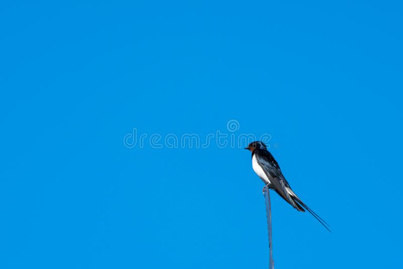 Beautiful summer bird - Barn Swallow. Closeup of a sunlit Barn Swallow on the top of a weather vane royalty free stock images