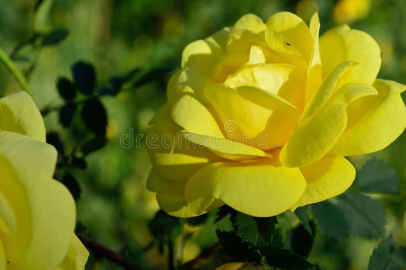 Closeup sunny yellow rose flower petals stock photos