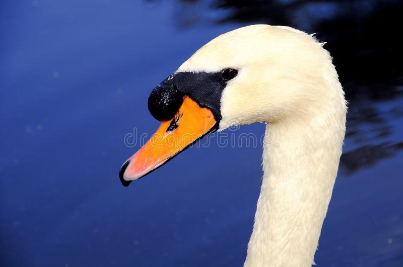 Closeup of swan in front of blue water. Portrait of a Mute Swan in the blue water of a lake in South Florida. Swans are birds of the family Anatidae within the stock photography