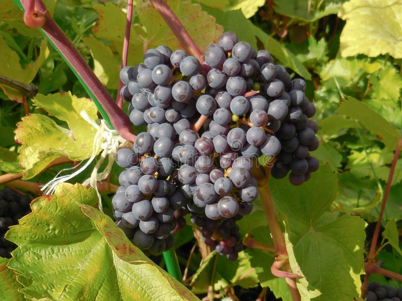 Closeup of sweet and ripe black bunch of grapes on branch tree royalty free stock photos