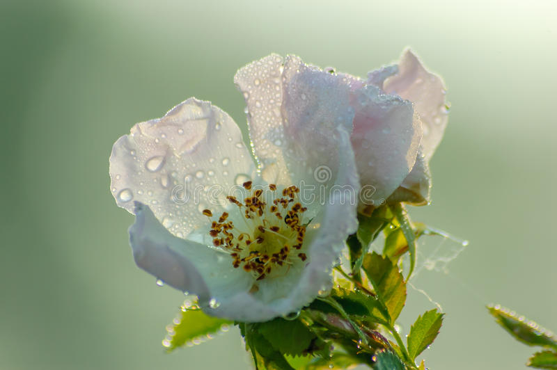 Closeup of Sweetbriar Rose royalty free stock photography