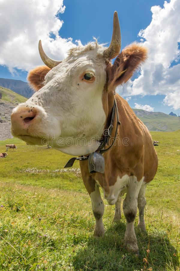 Closeup of a swiss cow at the alp. Closeup of a swiss brown and white cow with horns and a bell at the alp, in the Sanetsch pass, Switzerland royalty free stock images