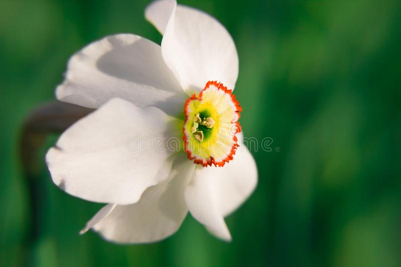 Closeup of symbol of spring revival and false pride � narcissus flowers enlightened by sun on blurry background. Closeup of symbol of spring revival and false royalty free stock photography