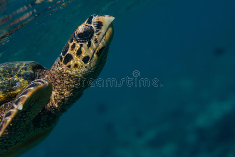 Closeup t of a big turtle in the indian ocean at Maldives royalty free stock photo
