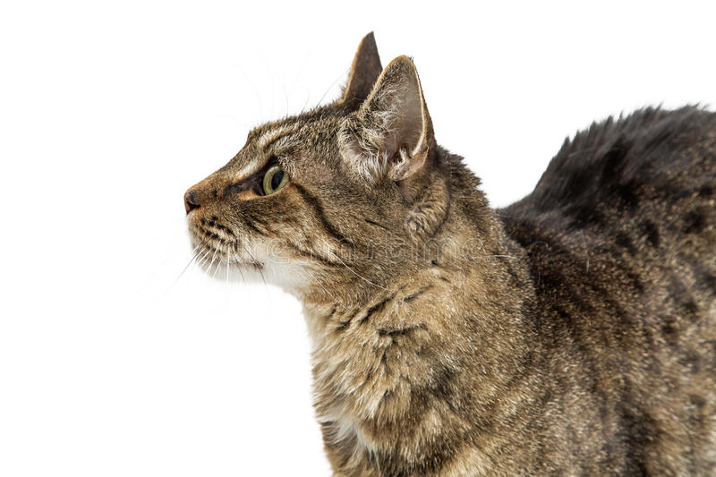 Closeup Tabby Cat Profile Stock Image Image Of Closeup