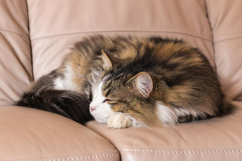 Tabby cat sleeping curled up on beige leather sofa royalty free stock image
