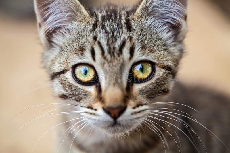 A closeup of a tabby young feral cat staring at the camera stock photo