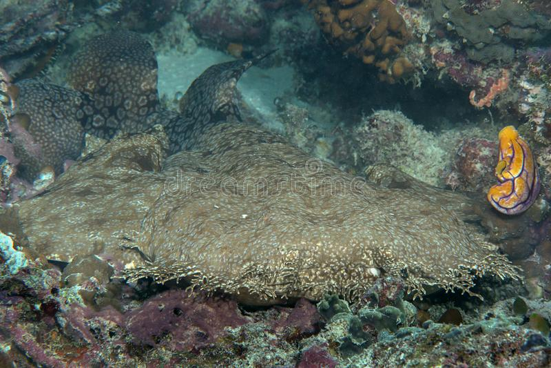 Closeup of a tasselled wobbegong shark resting on sea bottom of Raja Ampat, Indonesia. Closeup of a tasselled wobbegong shark Eucrossorhinus dasypogon resting on royalty free stock photos