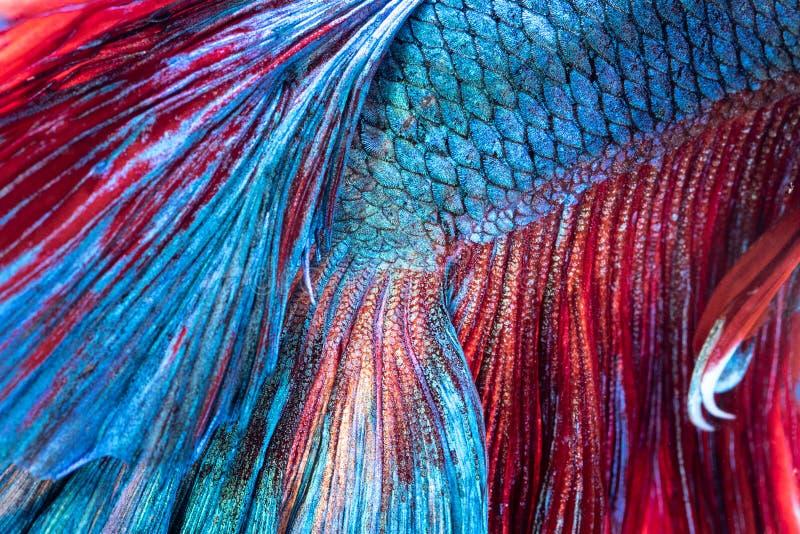 Closeup textur av den siamese stridighetfisken för svans arkivfoton