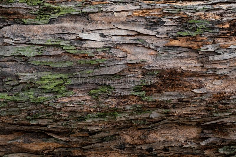 Closeup texture of tree bark. Pattern of natural tree bark background. Rough surface of trunk. Green moss and lichen on natural. Wood. Dirt skin of wooden. Grey royalty free stock images