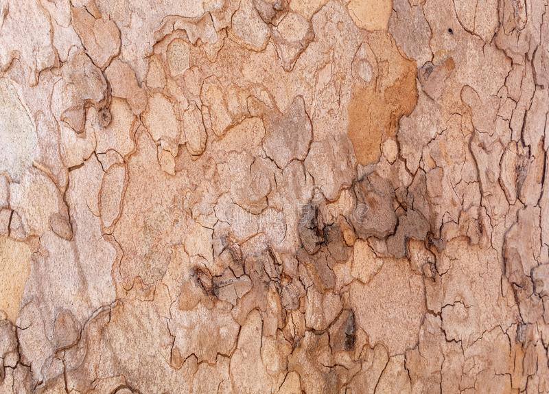 Texture of Very Old and Very Big London Plane Tree. Closeup texture of very old and very big living london plane tree. Use as a background image or place above royalty free stock photos