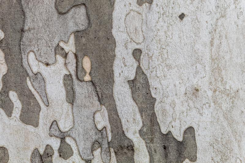 Texture of Very Old and Very Big London Plane Tree. Closeup texture of very old and very big living london plane tree. Use as a background image or place above royalty free stock image
