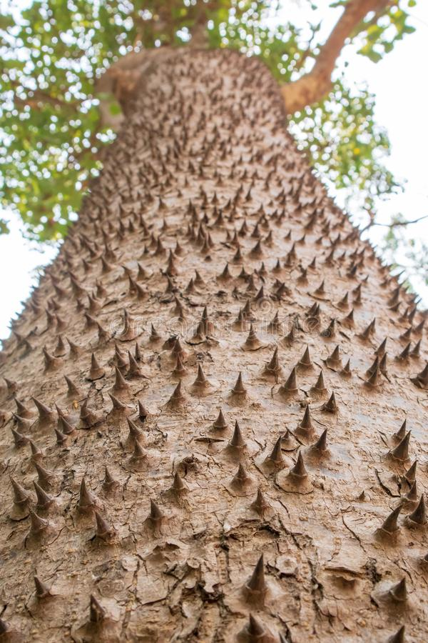Closeup textured and surface of the trunk of Kapok tree, Red silk cotton tree, Bombax ceiba tree royalty free stock images