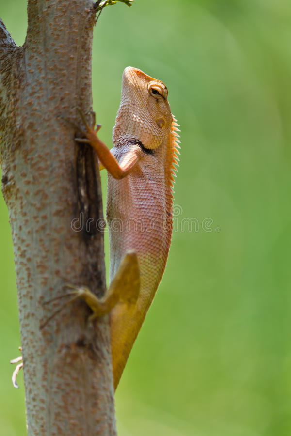 Closeup Thai chameleon. On twig in nature royalty free stock photos