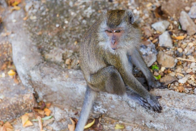 Closeup Thailand Asian monkey royalty free stock photos
