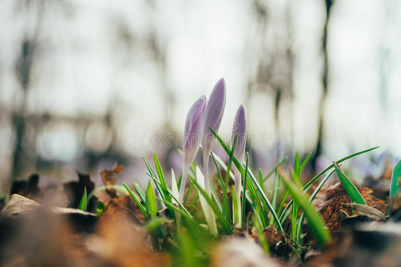 Closeup on three crocus flowers by early spring stock photography