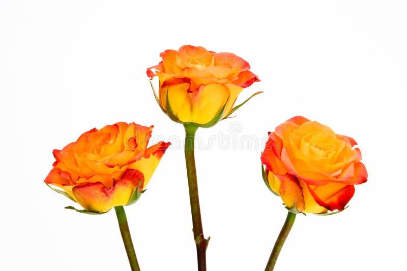 Closeup three orange lipstick roses isolated white royalty free stock photos