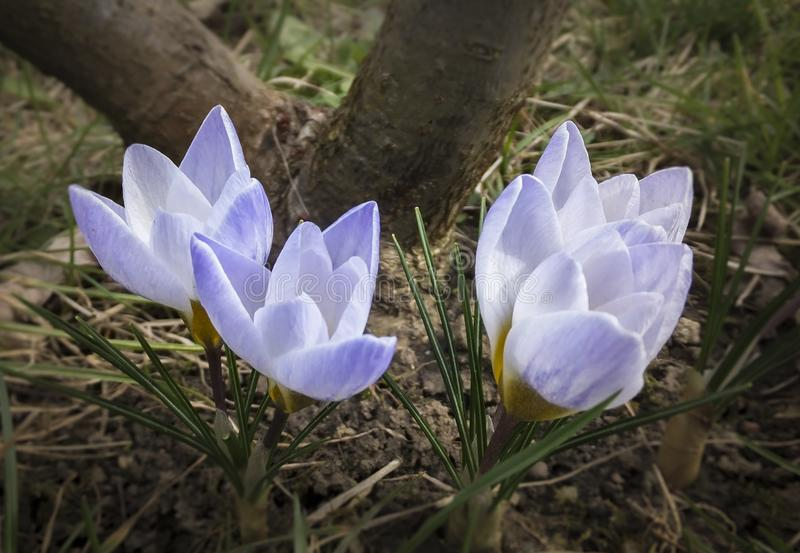 Closeup of three very gentle blue spring crocus Blue Pearl against the background of a brown tree trunk stock photos