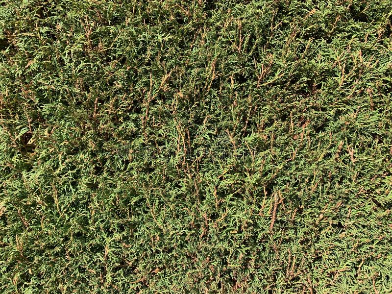 Thuja hedge texture. Closeup of thuja hedge texture royalty free stock image