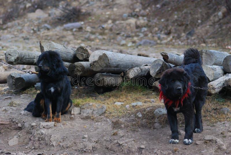 Closeup of Tibetan Mastiff dogs in north China. Closeup of Tibetan Mastiff puppy dogs in north China stock images