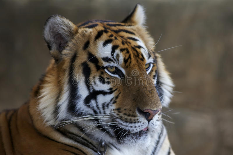 Closeup of Tiger stock photos