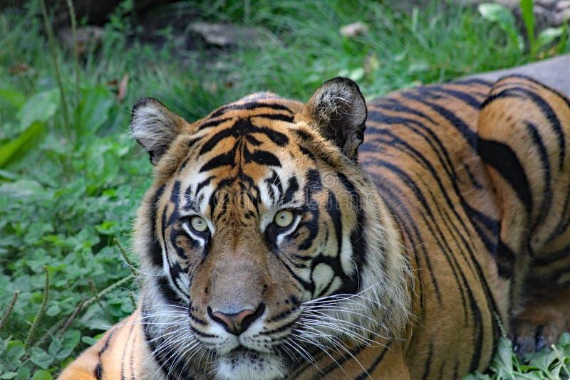 Closeup of a tiger`s face. Closeup of an alert tiger`s face royalty free stock photos