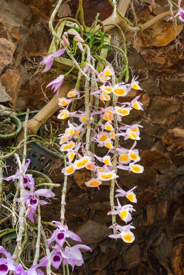 Closeup till den härliga dendrobiumen Primulinum Laos och dendrobiumen Superbum Var Anosmum orkidéblommor arkivbilder