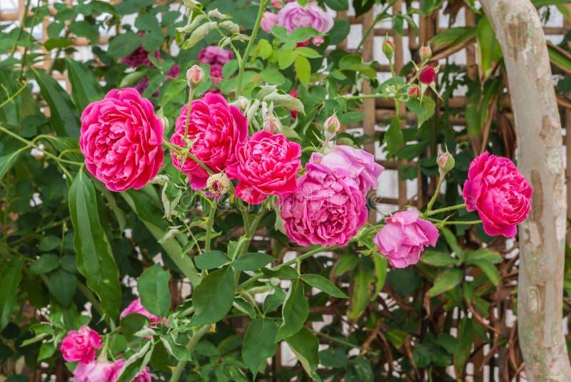 Closeup till färgrika rosa färger eller sommar damast Rose/Rosa? Damascena maler / Rosaceaeblommor royaltyfri foto