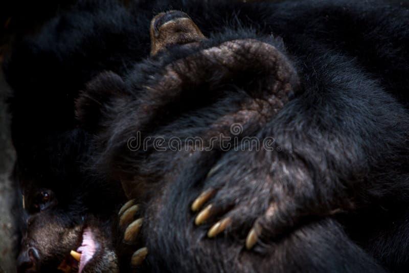 Closeup till framsidan av två vuxen människaFormosa svarta björnar som figthing med jordluckrarna royaltyfria foton