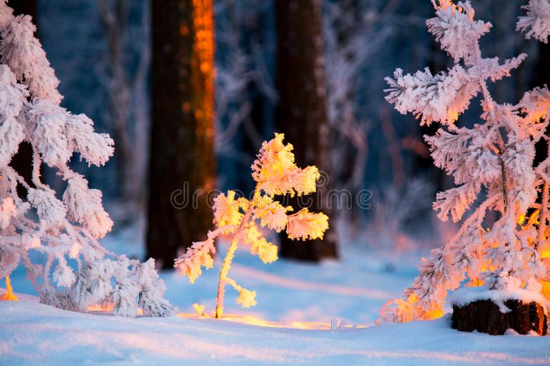 Closeup tiny fir trees covered with frost illuminated with sunlight. Winter evening in forerst. Christmas nature stock images