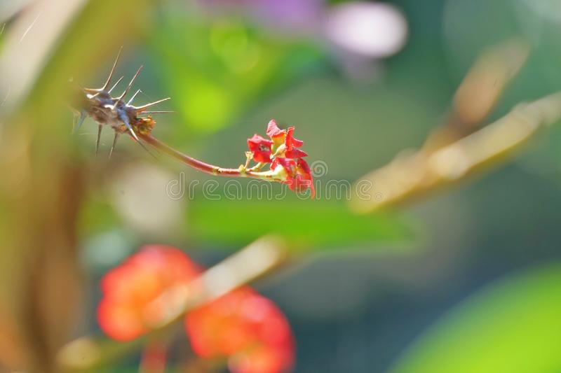 Closeup of tiny red flowers with some thorns royalty free stock photo