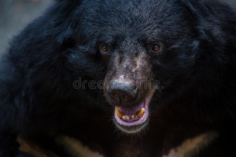 Closeup to face of an adult Formosa Black Bear in the forest at a day hot summer stock images