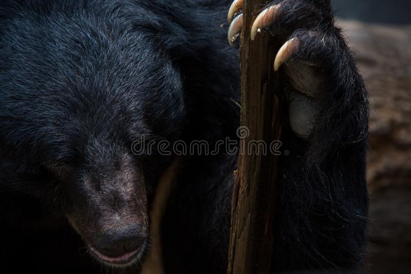 Closeup to face of adult Formosa Black Bear holding wooden stick with the claws. Closeup to the face of an adult Formosa Black Bear holding a wooden stick with royalty free stock photo