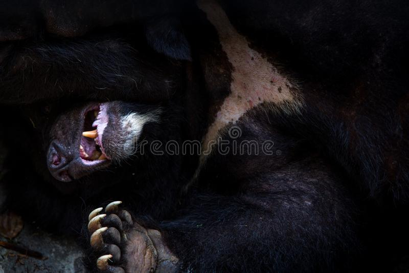 Closeup to the face of an adult Formosa Black Bear lying down on the forest. Closeup to the face of an adult Formosa Black Bear lying down on the rock in the royalty free stock photo